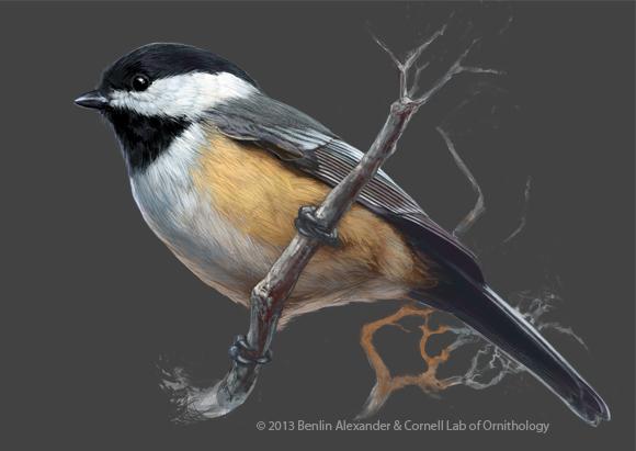 Benlin Alexander Illustration: Cornell Lab of Ornithology Part 2
