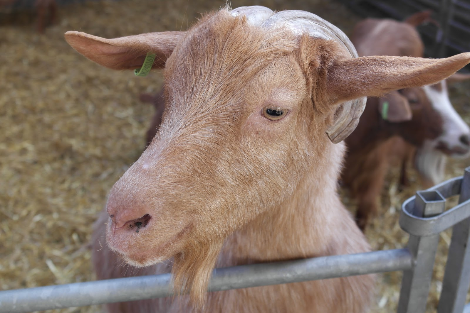 Goat at Mead Open Farm