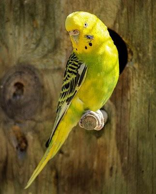 3 Perbedaan Akurat Burung Parkit Jantan Dab Betina Di Lihat Dari Segi Fisik
