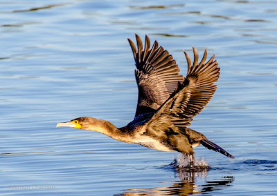 Canon EOS 6D Full Frame Body / EF 70-300mm f/4-5.6L IS USM Lens Birds In Flight Test 02