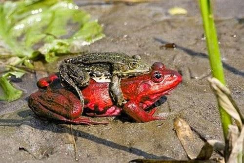 Imagen de rana con su propio taxi rojo