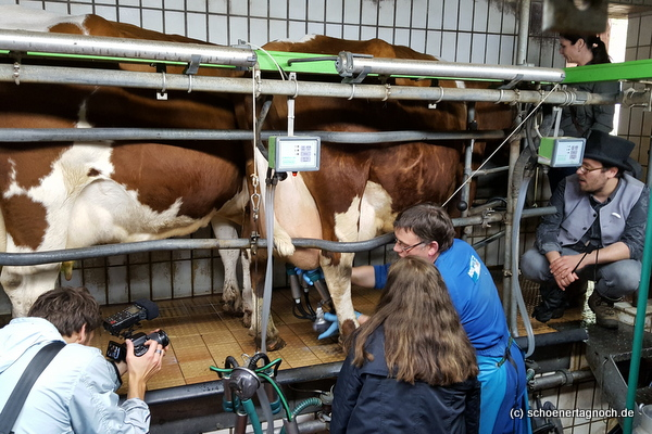 Kühe im Melkstand im Haus Bollheim
