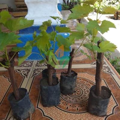 Kirim Bibit Anggur Caroline Merah Klien di Makassar