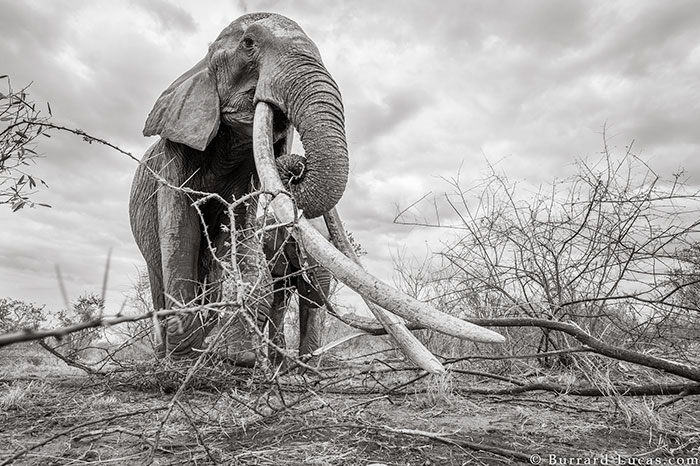 Astonishing Last Pictures Of The Legendary 'Elephant Queen' Before She Died
