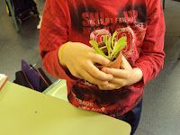 planton lechuga huerto escolar