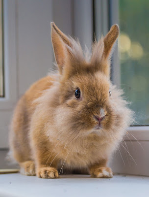 A pet bunny rabbit sits on a window sill