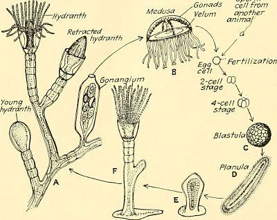 Colonia de obelia. Esquema con el ciclo biológico de la obelia y su colonia.