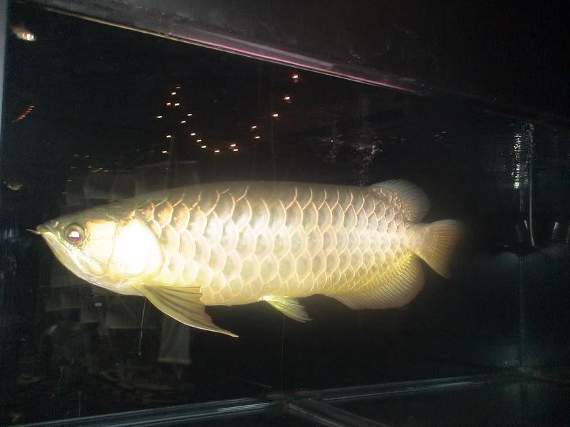 Gambar Manfaat Daun Ketapang Untuk Ikan Arwana Dan Kerugianya