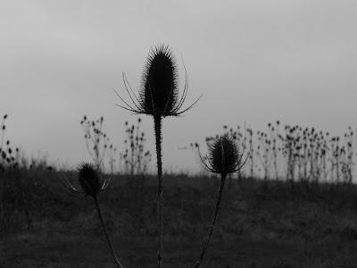 Teasel-Teazle-Plant-Seed-Heads-Silhouette-UK