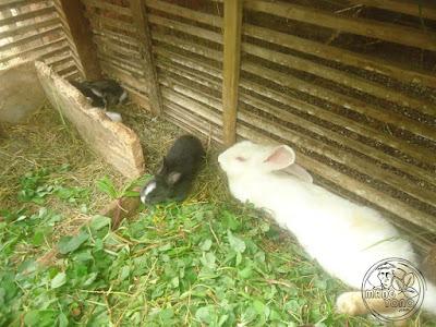 Saat bayi akan disapih, bayi kelinci akan diperkenalkan dengan rumput dan makanan lain.