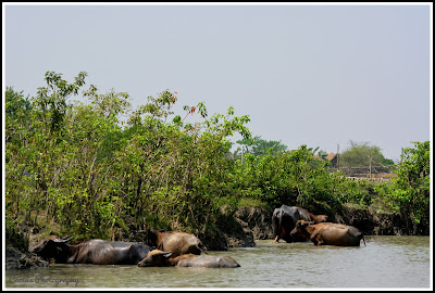 Nijhum Dwip Sea Beach, Buffalo's in Nijhum Dwip, Nijhum Island Hatia, Trip Navigation Bangladesh, Nijhum Dwip Travel Guide
