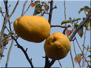 Chinese quince (Pseudocydonia sinensis) asian fruit image