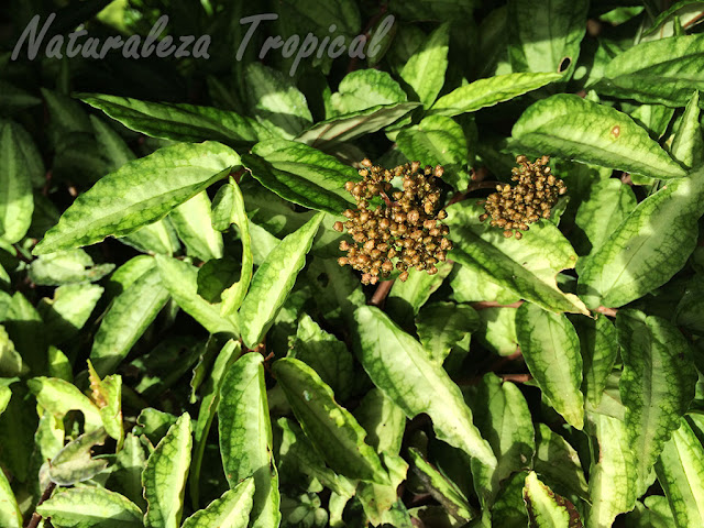 Otra imagen de la planta ornamental Pellionia repens