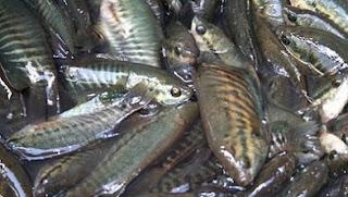 cara budidaya ikan sepat hias,cara budidaya ikan sepat mutiara,cara budidaya ikan sepat siam,ciri ciri ikan sepat jantan dan betina,budidaya ikan sepat di kolam terpal,budidaya ikan sepat biru,