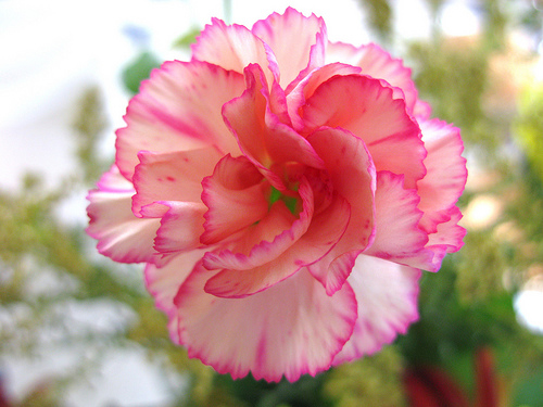 Carnations Flowers  Carnation Flowers Gallery 1 Beautiful pink carnation flower image