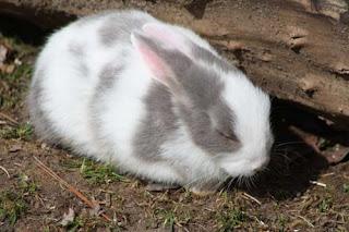 Grey White Bunny.