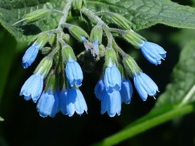 herbal, Manfaat Tanaman Herbal, komfrey, comfrey, kompri, manfaat komfrey untuk kesehatan, kandungan komfrey,