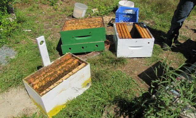 Πως θα έχουμε μεγάλη επιτυχία στις παραφυάδες: Συμβουλή απο τον μεγάλο μελισσοκόμο Μόσχο...