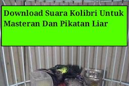 Download Suara Kolibri Ninja Gacor Sebagai Masteran Dan Pikatan Liar
