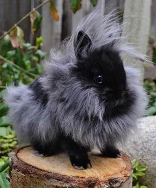 Lion Head Rabbit double mane
