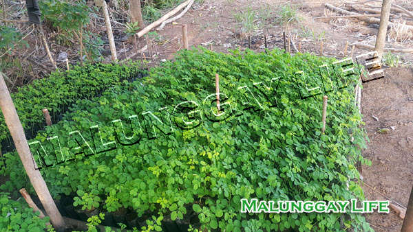moringa-farm-moringa-nursery