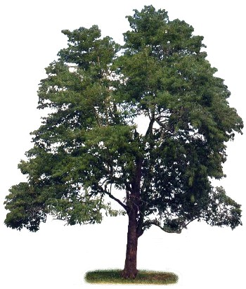 Pau Jacaré (Piptadenia gonoacantha)