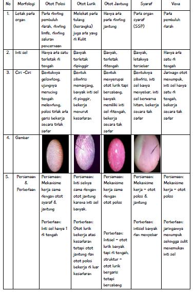 Perbedaan Struktur Otot Polos Otot Lurik Dan Otot Jantung