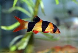 Botia jenis ikan hias yang menjadi favorit luar negri