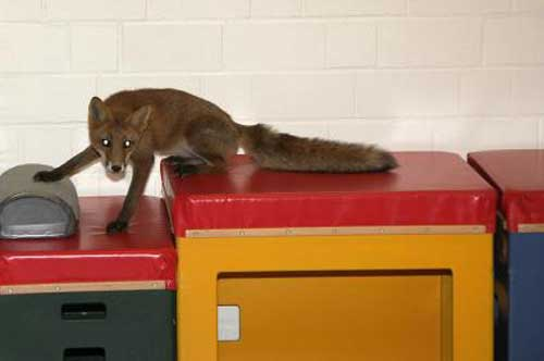 Nothing To Do With Arbroath: Sausage sandwich-eating fox led