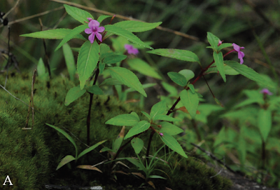 A new species of Impatiens from Cambodia