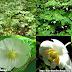 Khiên thùy sâu - American Mandrake