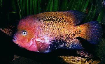 Bifa Vieja synspilus ikan hias air tawar