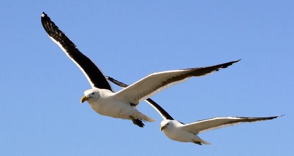 Dos gaviotas volando