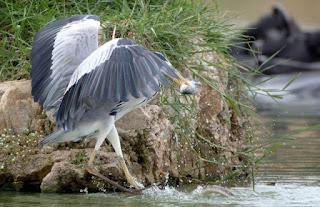 Burung & Ular berebut seekor ikan, siapa yang menang