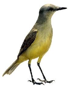 Suiriri (Machetornis rixosus)