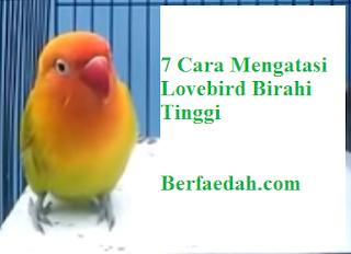 cara mengatasi lovebird birahi tinggi