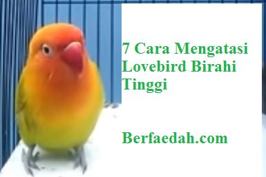 Inilah 7 Cara Mengatasi Lovebird Birahi Tinggi dengan Benar