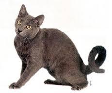 Kucing American Ringtail dan Karakteristiknya