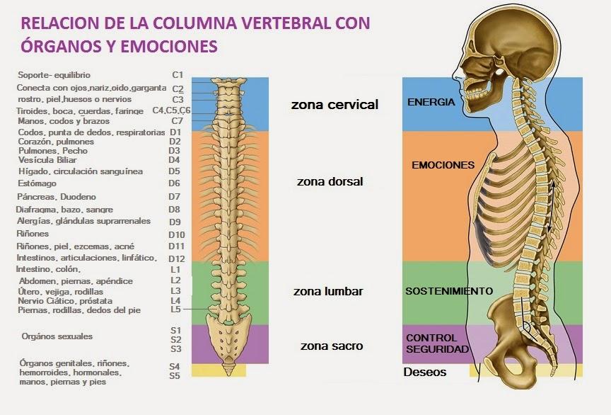 La columna vertebral y su relación con órganos y emociones - El blog ...