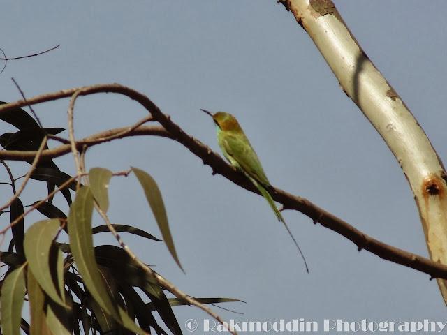Little green bee eater at Pashan Lake, Pune, Maharashtra, India