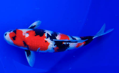 Jenis ikan Koi Showa Sonku