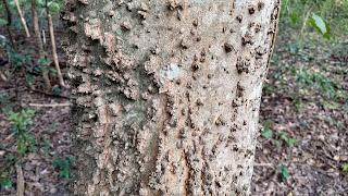 Celtis occidentalis (hackberry) tree bark new orleans louisiana