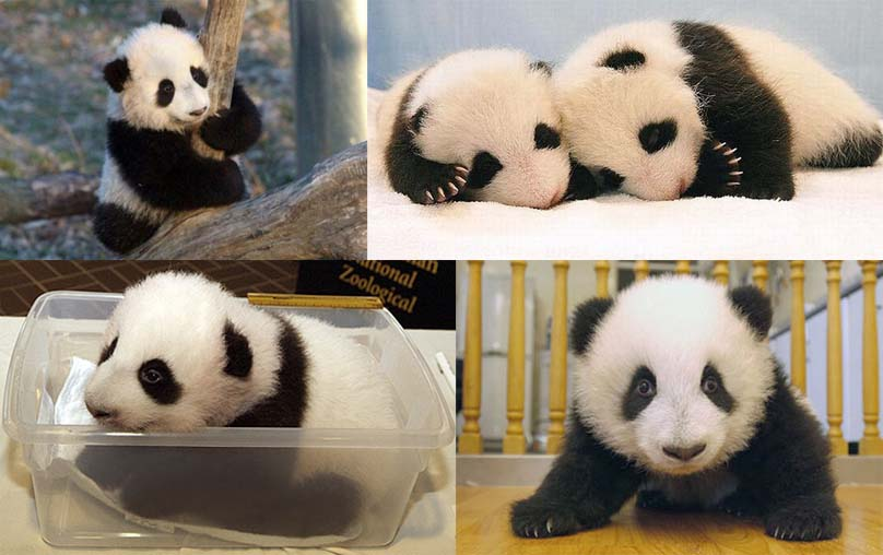 pink bubblegum princess: 5 gambar cute baby Pandas