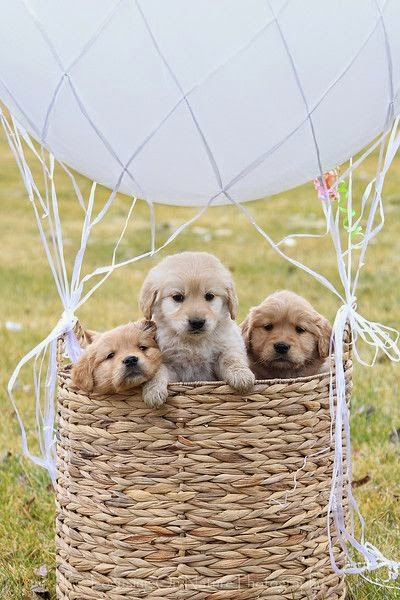 Cute Baby Golden retriever puppy in a hot air balloon