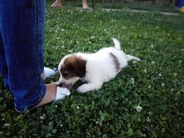 cachorro mestiza perro de aguas
