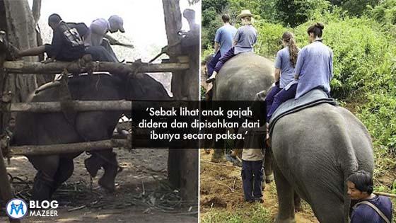 Phajaan: Anak Gajah Dipisahkan Dari Ibunya Secara Paksa dan Didera
