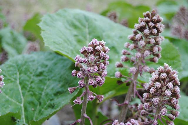 Pestskråp 'Petasites hybridus'