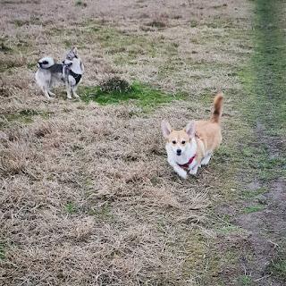 Pebbles and Kara go walkies - dog walking