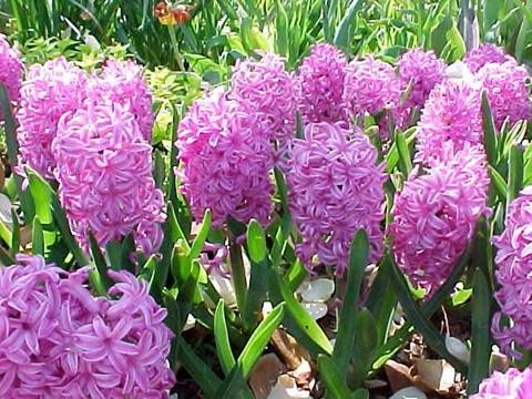 hoa da lan huong