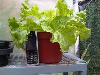 cara merawat Tanaman Sayur selada di dalam pot danlahan sempit